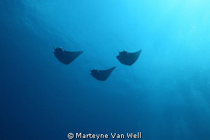 Three mobula rays passing by by Marteyne Van Well 